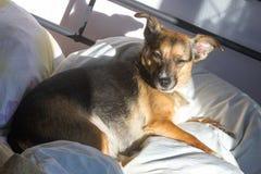 Собака, дом до одно Спать на мастерской кровати Собака шавки Стоковые Изображения RF
