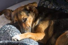 Собака, дом до одно Спать на мастерской кровати Собака шавки Стоковые Фотографии RF
