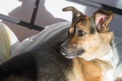 Собака, дом до одно Спать на мастерской кровати Собака шавки Стоковые Фото