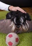Собака девушки прижимаясь на поле Стоковое Изображение RF