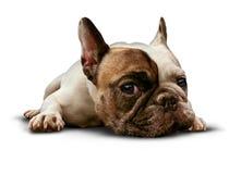 Собака лежа вниз Стоковое фото RF