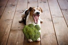 Собака лежа на лапках держа брокколи Стоковые Фото