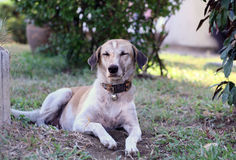 Собака лежа на поле Стоковые Фотографии RF