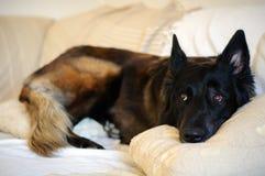 Собака лежа на софе Стоковое Изображение