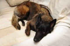Собака лежа на софе Стоковые Изображения