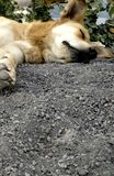 собака ленивая стоковая фотография rf