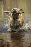 Собака леопарда Catahoula брызгая как он восстанавливает ручку Стоковая Фотография