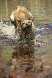 Собака леопарда Catahoula восстанавливая ручку от весеннего пруда Стоковые Изображения RF
