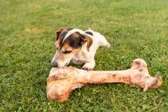 Собака ест большую косточку стоковое фото rf