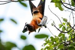 Собака летания, летучая мышь Fox или плодоовощ Vampyrus крылана Стоковое фото RF
