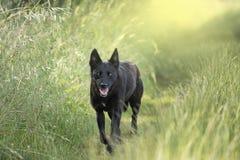 Собака женщины черной собаки & прогулки собаки Стоковые Изображения RF
