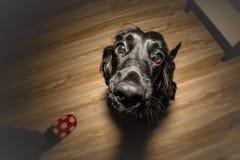 Собака ждать вознаграждение стоковое фото rf