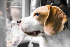 Собака ждет его предпринимателя Стоковое Изображение