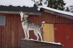 Собака завывать стоковые изображения