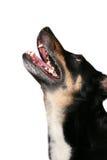 собака завывая Стоковые Изображения RF