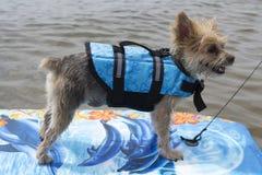 Собака занимаясь серфингом на озере стоковые изображения rf