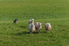 Собака запаса бежит внутри за группой в составе aries барана овец Стоковые Изображения RF
