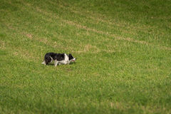 Собака запаса преследует справедливо Стоковая Фотография RF