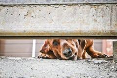 Собака защищает дом и смотрит прохожих Барсук-собака Брауна немецкая - собака предохранителя Жалуясь взгляд doggy E стоковые изображения