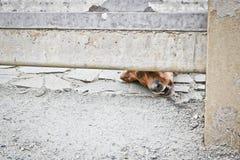 Собака защищает дом и смотрит прохожих Барсук-собака Брауна немецкая - собака предохранителя Жалуясь взгляд doggy E стоковое изображение