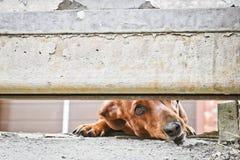 Собака защищает дом и смотрит прохожих Барсук-собака Брауна немецкая - собака предохранителя Жалуясь взгляд doggy E стоковая фотография rf