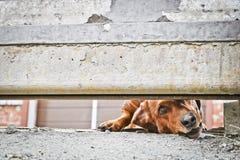 Собака защищает дом и смотрит прохожих Барсук-собака Брауна немецкая - собака предохранителя Жалуясь взгляд doggy E стоковые фотографии rf