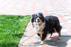 Собака защищая двор разбойников собач собака напольная стоковое фото