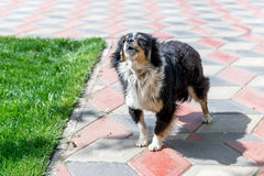 Собака защищая двор разбойников собач собака напольная стоковые фотографии rf