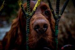 Собака за барами Стоковые Изображения