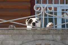 Собака за загородкой Стоковое фото RF