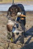 Собака звероловства с уткой Стоковая Фотография
