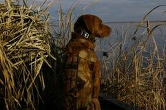 Собака звероловства утки Стоковые Изображения RF
