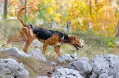 Собака звероловства Стоковое фото RF