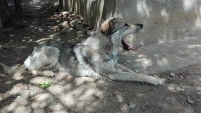собака зевая Стоковые Фотографии RF