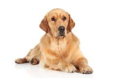 Собака золотистого Retriever лежа на поле стоковое фото rf