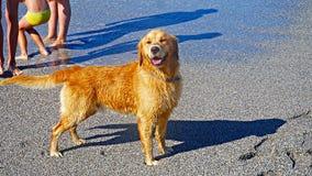 Собака золотого Retriever играя в Средиземном море Счастливый щенок наслаждаясь игрой с его предпринимателем Дружелюбный запас со Стоковая Фотография RF