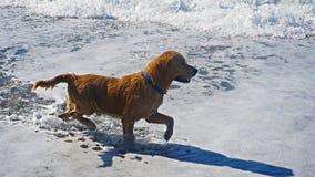 Собака золотого Retriever играя в Средиземном море Счастливый щенок наслаждаясь игрой с его предпринимателем Дружелюбный запас со Стоковые Фотографии RF