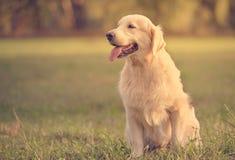 Собака золотого retriever красоты в парке Стоковые Изображения RF
