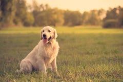 Собака золотого retriever красоты в парке Стоковые Фотографии RF