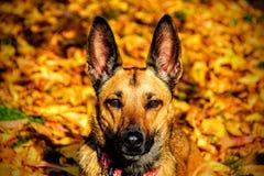 Собака золота Стоковое Изображение