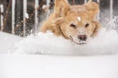 Собака золотистого Retriever в снежке Стоковая Фотография RF