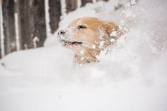 Собака золотистого Retriever в снежке Стоковые Фотографии RF