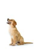 Собака золотого Retriever лаяя пока сидящ на поле, изоляте стоковое изображение rf