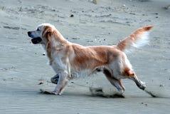 Собака золотого retriever бежать на пляже Стоковое фото RF