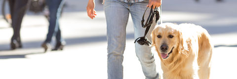 Собака золотого retriever внешняя стоковое фото