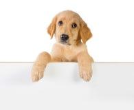 Собака золотого retriever держа дальше белую доску планки стоковая фотография rf