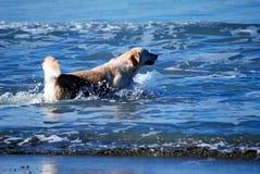 Собака золотого retriever играя в море Стоковые Изображения RF