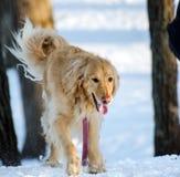 Собака золотого Retriever играя в снеге Стоковое фото RF