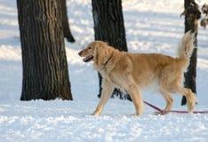 Собака золотого Retriever идя в снег Стоковое фото RF