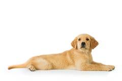 Собака золотого retriever кладя над белой предпосылкой стоковое изображение